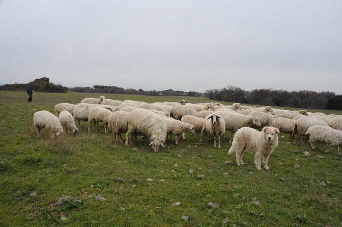 Cemento sul Parco dell'Appia Antica: pecore al pascolo nell'area archeologica assediata dell'abusivismo edilizio (foto Mario Proto)