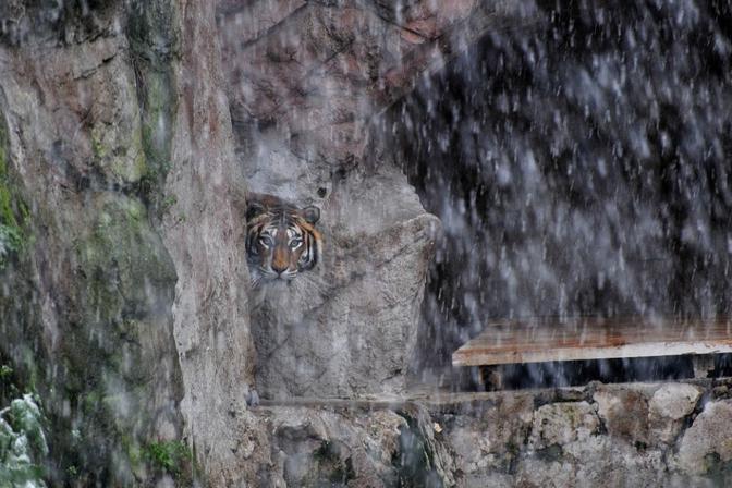 tigre  a roma bioparco sotto la neve