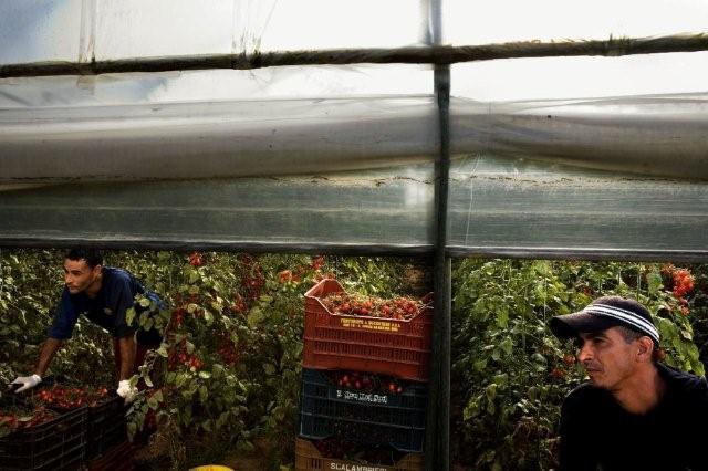EMILIANO MANCUSO «Immigrazione» Raccoglitori di pomodori originari dell'Algeria in una serra in provincia di Ragusa, Italia