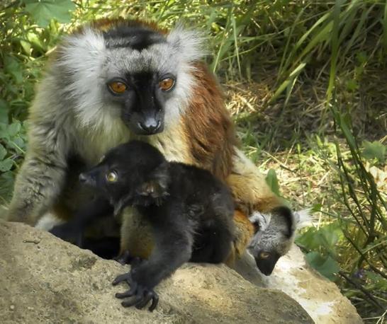 «Alla nascita, avvenuta lo scorso 26 marzo – racconta il presidente della Fondazione Bioparco di Roma, Paolo Giuntarelli - i due cuccioli pesavano circa 50 grammi ognuno» (D'Amico)