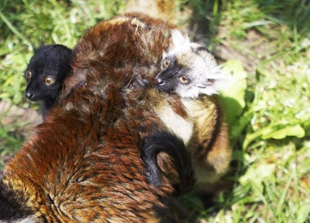 I genitori sono Natalino e Ambrè: il papà proviene da uno zoo del Lussemburgo dove è nato il giorno di Natale del 2007, la mamma Ambrè è arrivata a fine 2009 al Bioparco dalla Francia (Grottesi)