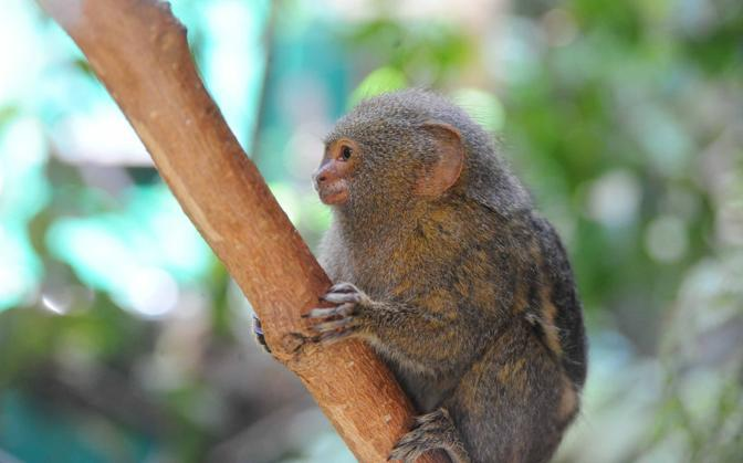 Apre al Bioparco di Roma la nuova area dedicata alle scimmie più piccole del mondo, i Tamarini (Mario Proto)