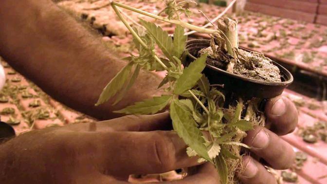 Una piantina di marijuana tra le mani di un finanziere (foto Mario Proto)