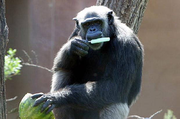 Gelato al limone - Anche il Bioparco si attrezza per reagire all'ondata di caldo che investe la capitale: agli animali sono stati distribuiti frutta e gelati. Nella foto, lo scimpanzé gusta un ghiacciolo (foto Omniroma)