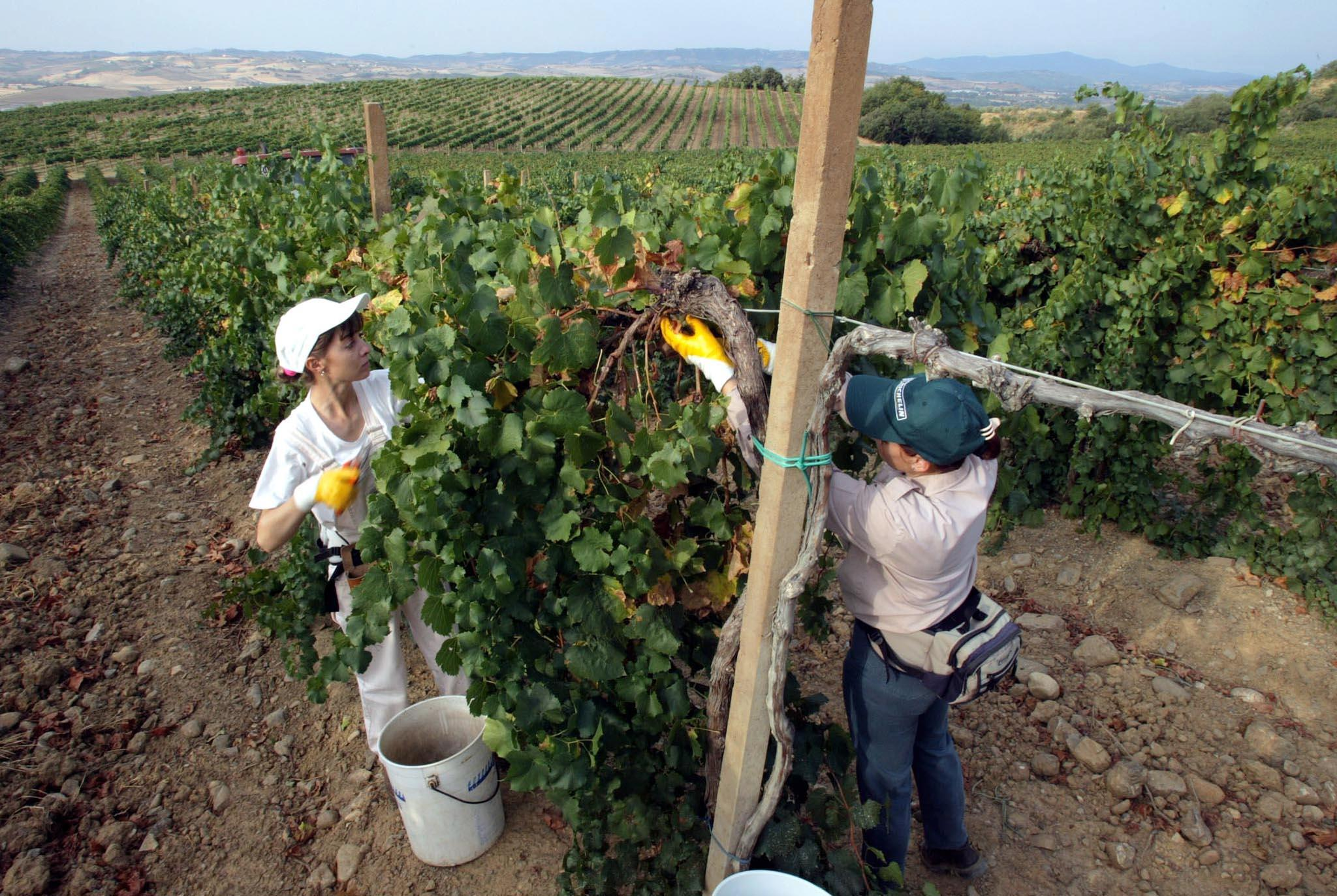 Si diradano i grappoli (foto Ansa)
