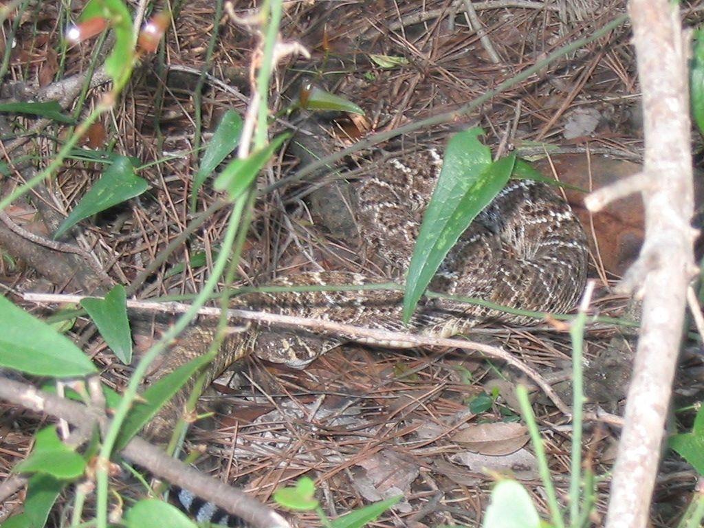 Il serpente nella pineta di Castelfusano