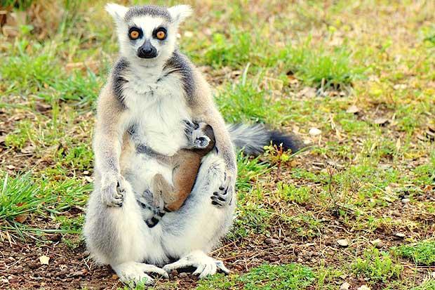 Il piccolo lemure foto del giorno corriere roma