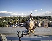 La falchetta Pellegrina sui tetti di Economia poco prima di spiccare il volo (Ansa)