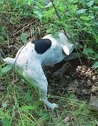 Un cane scava dopo aver individuato un tartufo (Fotogramma)