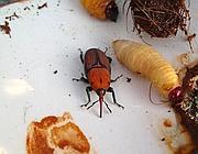 Un punteruolo e una larva