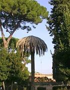Una palma uccisa dal Punteruolo a Villa Celimontana