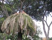 La cima di una palma attaccata dal punteruolo a Villa Celimontana (Zanini)