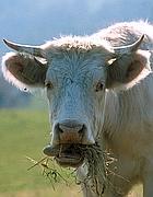 Un bovino al pascolo