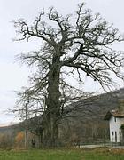 Il cerro di Vetralla
