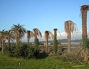 Le palme di Ben Hur morte in riva al lago di Fogliano