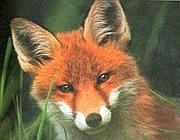 La volpe, uno degli animali «intelligente» secondo Mainardi
