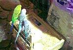 Ali tagliate - Le  guardie zoofile dell'Enpa di Roma hanno scoperto a Trastevere  una donna che sfruttava tre pappagallini:  le povere cocorite dovevano pescare un bigliettino con i numeri del Superenalotto da giocare. Per impedire la fuga dei poveri animali, gli erano state tagliate le ali remiganti,  ovvero la parte che consente all'uccello di poter volare correttamente, I pappagallini sono stati sequestrati dagli agenti dell'Enpa e sottoposti a  cure veterinarie e saranno dati in adozione. E l'Ente lancia un appello: «Non date soldi a chi sfrutta gli animali» (foto Enpa).
