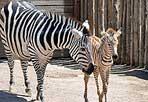 «Righetto» è il nome scelto - Così si chiama il cucciolo di zebra di Grant nato a inizio luglio al Bioparco di Roma. Il nome è stato scelto dai bambini. «L'indirizzo di posta babyzebra bioparco.it e la redazione web del Tg1 (www.tg1.rai.it) - che ha lanciato l'appello 'Aiutateci a dargli un nome!' Alla nascita il cucciolo pesava circa 30 chili e la nuova famiglia vive nel recinto misto della Savana, insieme a struzzi e antilopi alcine.  Nelle prime fasi di vita i cuccioli di zebra sono a righe bianche e marroni per mimetizzarsi, mentre da adulti prendono il classico colorito nero e bianco per confondere i predatori, che, nella confusione di un branco in fuga, non riescono a distinguere il singolo individuo dal resto del gruppo