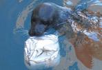 Sardine a colazione  - Ci sono tanti modi per aiutare gli animali di acquari e bioparchi a difendersi dal caldo: quello escogitato dai veterinari di Zoomarine è davvero singolare. Ai leoni marini  del parco zoologico di Torvaianica è stata servita questa curiosa torta di ghiaccio ripiena di sardine. Questi mammiferi sono ghiotti dei ghiaccioloni al pesce - spiega Cristina Pilenga, responsabile zoologica di Zoomarine - utilissimi come rimedio alle torride giornate d'agosto. Nella foto Vito, il più grande leone marino ospite di Zoomarine