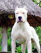 Un cane Dogo