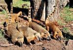 Noi «coati de Roma» - Al Bioparco di Roma sono arrivati i «coati»  procionidi del Sud America, chiamati anche  «nasua nasua» («naso naso») per il l caratteristico lungo naso flessibile. Il gruppo di «coati romani» è composto da 5 femmine e 2 maschi nati e cresciuti allo zoo di Anversa (Belgio). Grandi arrampicatori, sono molto vivaci e attivi durante il giorno. (Ansa)