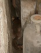 La volpe tra le anfore ai Mercati di Traiano (Omniroma)