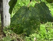 Cancro del kiwi: le foglie malate di una actinidia