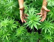 Canapa coltivata per uso terapeutico (Epa)