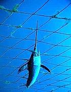Un pesce spada impigliato in una «ferrettara» (foto dal sito Ogigia.com)