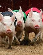 Una corsa di maiali (foto Reuters)