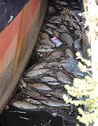 Pesci morti alla foce del Tevere (Faraglia)
