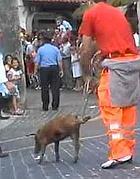Un maiale legato per una zampa alla Corsa dei Porci di Bassiano (dal web)