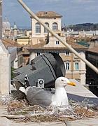 Un gabbiano reale cova nel suo nido sopra piazza Venezia (foto Jpeg)