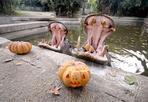 Zucche e ippopotami - Domenica 30 ottobre, al Bioparco, giornata speciale per festeggiare Halloween insieme agli animali che, durante i pasti, riceveranno le zucche con questi orari: ore 11.00 macachi, ore 11.30 lemuri, ore 12.00 elefanti, ore 12.30 orsi, ore 14.30 scimpanzé e alle 15.30 ippopotami anfibi. In Sala degli Elefanti dalle ore dalle 11.00 alle 13.00 e dalle 14.00 alle 16.00 il personale zoologico organizzerà l'attività «animali e pregiudizi», un a tu per tu da brivido con serpenti, sauri, insetti ed anfibi, animali di cui spesso si ha paura o si prova ribrezzo, ma importantissimi per l'equilibrio dell'ambiente naturale. Gli esperti spiegheranno le caratteristiche biologiche e i collegamenti con l'ambiente naturale in cui vivono questi affascinanti animali e ne sveleranno tutti i segreti. Per tutto il corso della giornata, inoltre, animatori professionisti creeranno pillole divertenti a tema Halloween i cui protagonisti saranno la Zanzara Mannara, la Scimmia Mummia, l'Elefrankenstein