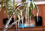 Gelo sul balconi - Gelo sui balconi e in parchi e giardini della Capitale: il brusco abbassamento delle temperature - per domenica notte sono previste minime tra i - 8 e - 9 gradi - mette in pericolo la sopravvivenza di piante e fiori, il cui «termostato naturale» era stato ingannato nelle scorse settimane da un clima mite. Nei dintorni di Roma neve e ghiaccio sulle mimose già fiorite, nei parchi rami e alberi abbattuti dal peso della neve. E nei giardini, come ai Fori Imperiali, la maleducazione di tanti abitanti in festa che hanno calpestato le aiuole ha distrutto centinaia di piante di fiori (foto Montesi)