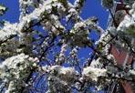 Fiori di primavera - Temperature miti e alberi in fiore nel secondo giorno di primavera, che quest'anno è caduto il 20 marzo e non il 21, perchè il 2012 è un anno bisestile. L'equinozio di Primavera come quello dell'autunno in astronomia sono i due istanti nel corso dell'anno in cui il Sole si trova perpendicolare all'equatore e la separazione tra zona illuminata e zona in ombra della Terra passa per i poli. Nell'emisfero settentrionale, l'equinozio di marzo è l'equinozio di primavera, e l'equinozio di settembre (che cade il 22 o il 23 settembre) è l'equinozio d'autunno; nell'emisfero meridionale, questi termini sono invertiti. (Foto Ansa)