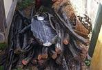 La «miniera» di rame  - Scoperta in una abitazione di via Monte Testaccio - una vecchia rimessa di una falegnameria ristrutturata -  una «miniera» di rame rubato: i carabinieri hanno rinvenuto, nascosti sotto un telone, ben 1.500 Kg di cavi in rame, diligentemente tagliati in sezioni di 2 metri ciascuno, del genere utilizzato per la cablatura delle linee ferroviarie nazionali. Nelle vicinanze del ricco carico di oro rosso, i militari dell'Arma hanno rinvenuto un bidone contenente molteplici attrezzi, da quelli utilizzati per estrarre le bobine dalle loro sedi naturali a quelli adoperati per togliere la guaina in gomma che ricopre i filamenti di rame, e circa 30 kg di cavi già «lavorati». Denunciate a piede libero 4 persone, due italiani e due cittadini romeni di età compresa tra i 23 ed i 68 anni, con l'accusa di ricettazione (foto Mario Proto)