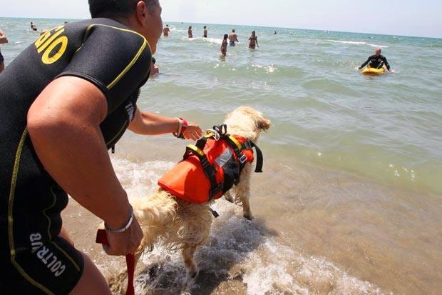 Cani bagnini  - Questa estate in soccorso dei bagnanti in difficoltà ci sarà anche «l'amico dell'uomo».  La Scuola italiana cani di salvataggio ne ha addestrati sei, che saranno utilizzati come bagnini ogni fine settimana lungo le spiagge libere del Litorale