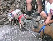 Un momento della corsa dei maiali a Bassiano