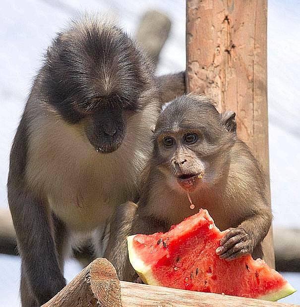 Afa & cocomero - Anche gli animali del Bioparco di Roma mangiano il cocomero per difendersi dal caldo afoso di questi giorni in città. Nella foto due esemplari di cercocebi dal collare alle prese con una fetta di anguria  (Foto Ansa)