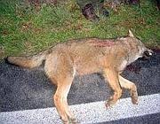 Una lupa uccisa in Abruzzo (foto da Abruzzo24ore.tv)