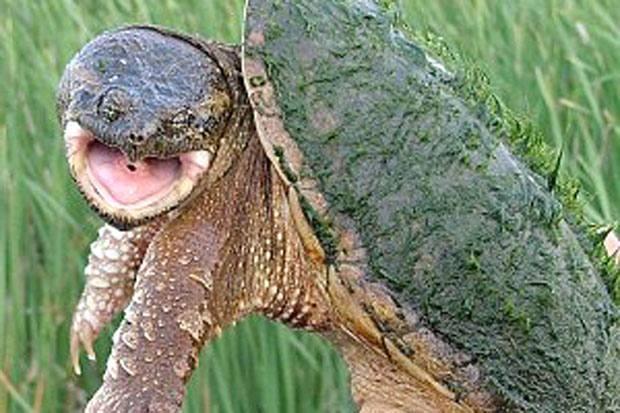 L'azzanatrice in un parco - Una tartaruga azzannatrice, considerata pericolosa per la sua voracità e per il rischio di trasmissione di malattie, è stata ritrovata martedì mattina in una bacinella nel parco di Fidene «Peter Pan». Su segnalazione di un  cittadino al 1515, il servizio Cites del Corpo forestale ha recuperato l'animale, probabilmente abbandonato dal proprietario. La detenzione e il commercio della tartaruga azzannatrice sono vietati: per i trasgressori è previsto l'arresto fino a tre mesi e un'ammenda da 7 mila a 100 mila euro. Gli agenti della Forestale consegneranno l'esemplare a un centro di recupero di Roma, autorizzato dal ministero dell'Ambiente, specializzato nella gestione di animali pericolosi. È la prima volta che una tartaruga azzannatrice, molto diffusa in America, viene ritrovata all'interno di un parco cittadino, in pieno centro abitato, poiché in genere qualche esemplare viene avvistato lungo le rive di fiumi e torrenti