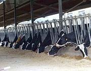 Mucche in una stalla della Valle del Sacco (Ciofani)