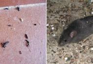 Un topo domestico e (a sinistra) escrementi