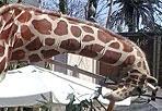 Collo lungo al Bioparco - Il giorno di Pasqua il Bioparco organizza la giornata-evento dal titolo «Sua Altezza la Giraffa», rivolta alle famiglie per conoscere tutti i segreti del più alto mammifero terrestre.  La giornata comincia in allegria con i clown del Bioparco e con un'accoglienza speciale: un operatore travestito da giraffa alta 4 metri con cui scattare una foto ricordo. Presso la Sala degli Elefanti dalle 11 alle 13.30 e dalle 14 alle 17 i bambini, in compagnia dei genitori, potranno mettersi alla prova e partecipare a laboratori interattivi per bere e alimentarsi come una giraffa senza farsi venire il mal di testa, e per scoprire tutti i segreti che racchiude un collo così lungo. Per mettere alla prova grandi e piccini, verrà proposto il quizzone «Genitori contro figli» in cui, attraverso un divertente gioco di squadra, tutti i componenti della famiglia avranno un ruolo attivo nello scoprire caratteristiche e curiosità del mondo delle giraffe, per poi contendersi la vittoria finale. Inoltre, per tutta la giornata, presso l'Area delle Giraffe, un operatore didattico rivelerà curiosità e aneddoti sul gruppo di giraffe del Bioparco