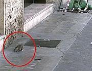 Un topo a passeggio in piazza Irnerio in pieno giorno (foto Proto)