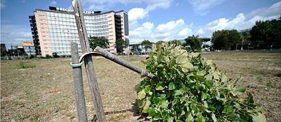 Uno degli alberi segati (Jpeg)
