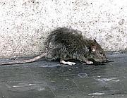Un topo sul marciapiede a Roma (Proto)
