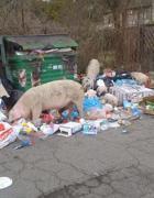 Maiali tra i rifiuti in via di Boccea a Roma (Proto)