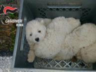 Cuccioli di maremmano in un dirupo: salvati dai carabinieri